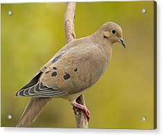 Mourning Dove Acrylic Print by Doug Herr