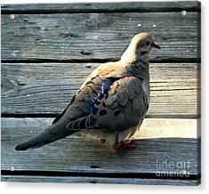 Acrylic Print featuring the photograph Mourning Dove by Kristen Fox