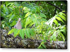 Mourning Dove Acrylic Print by Lynn Griffin