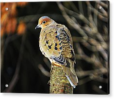 Mourning Dove On Post Acrylic Print