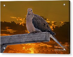 Acrylic Print featuring the photograph Mourning Dove Orange Sky by Marjorie Imbeau