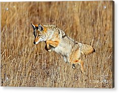 Mousing Coyote Acrylic Print
