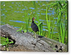 Mouthy Moorhen Acrylic Print by Al Powell Photography USA
