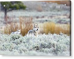 Mr. And Mrs. Brown Acrylic Print