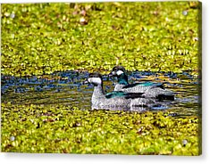 Mr And Mrs Green Pygmy Goose Acrylic Print