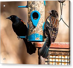 Mr. And Mrs. Red Winged Blackbird Acrylic Print by Robert L Jackson
