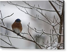Mr Bluebird Acrylic Print by Teresa Mucha