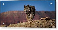 Mr. Bob Cat Acrylic Print by Diane Bohna
