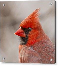 Mr Cardinal Portrait Acrylic Print