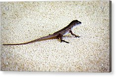 Acrylic Print featuring the photograph Mr. Gecko by Pennie  McCracken