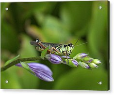 Mr. Grasshopper Acrylic Print