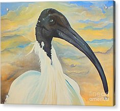 Mr Ibis Acrylic Print by Una  Miller