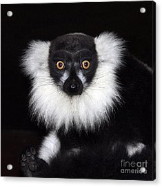 Acrylic Print featuring the photograph Mr Lemur by Terri Waters