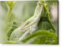 Mr Lizard Acrylic Print by Erin Johnson