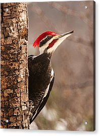 Mr. Pileated Acrylic Print
