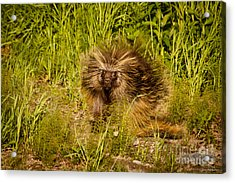 Mr. Porcupine Acrylic Print by Chris Heitstuman