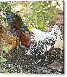 Mr. Rooster And All The Chickens Scratching For A Snack Acrylic Print by Artist and Photographer Laura Wrede