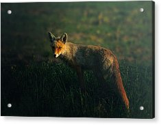 Mr.fox Acrylic Print