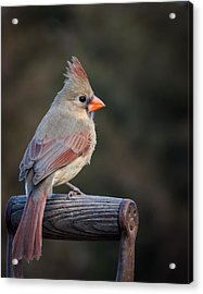 Mrs. Cardinal Acrylic Print by Larry Pacey