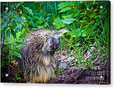 Mrs. Porcupine  Acrylic Print by Chris Heitstuman