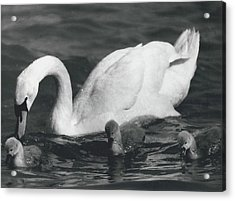 Mrs, Swan And Her Kids Enjoy Spring - Sun Acrylic Print by Retro Images Archive