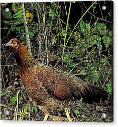 Ms. Chicken Acrylic Print by Maria Urso