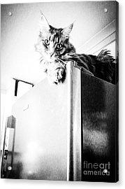 Ms Most High Feline Acrylic Print by Peta Thames
