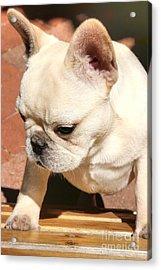 French Bulldog Ms Quiggly  Acrylic Print