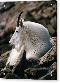Mt Evans Mountian Goat Acrylic Print