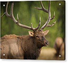 Mud Covered Antlers On A Rocky Mountain Acrylic Print