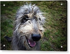 Muddy Dog Acrylic Print
