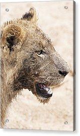 Muddy Little Lion Cub Acrylic Print by Sean McSweeney