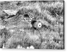 Acrylic Print featuring the photograph Mule Buck B/w by Kevin Bone
