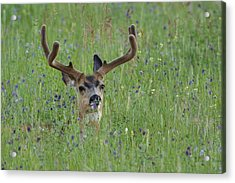 Mule Deer Buck In Wildflower Meadow Acrylic Print by Tom Reichner