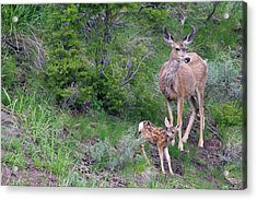 Mule Deer Doe With Fawn Acrylic Print
