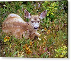 Acrylic Print featuring the photograph Mule Deer Fawn by Karen Shackles