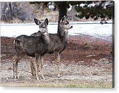 Mule Deer Fawns Acrylic Print