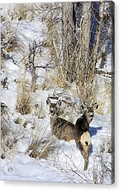 Mule Deer In The Canyon Acrylic Print by Marta Alfred