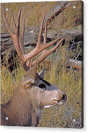Acrylic Print featuring the photograph Mule Deer by Lynn Sprowl