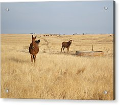 Mules In Gold Grass Acrylic Print