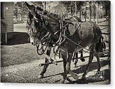 Mules In Harness Acrylic Print by Russell Christie