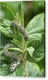 Mullein Moth Caterpillars Acrylic Print by David Aubrey