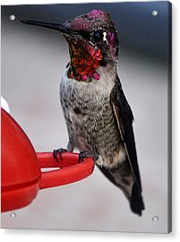 Acrylic Print featuring the photograph Multi Colored Hummingbird Male Anna by Jay Milo