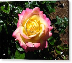 Acrylic Print featuring the photograph Multicolor Rose by Bill Woodstock