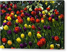 Multicolored Tulips At Tulip Festival. Acrylic Print