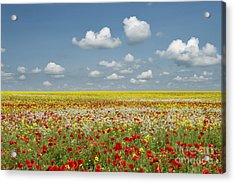 Multicoloured Field Acrylic Print by Tim Gainey