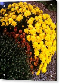 Acrylic Print featuring the photograph Mums In The Fall by Deborah Fay