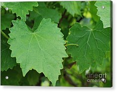 Muscadine Leaves Acrylic Print by Gayle Melges