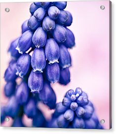 Muscari Acrylic Print by Dave Bowman