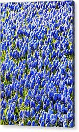 Muscari Early Magic Acrylic Print by Jasna Buncic
